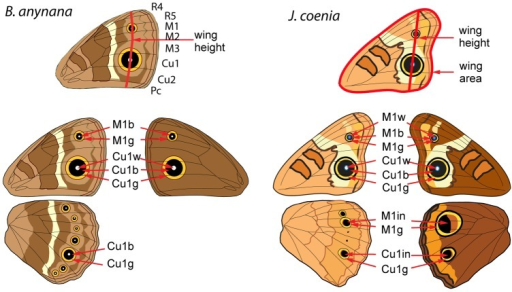 Measurements taken of adult B. anynana and J. coenia wi | Open-i