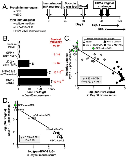 Pan-HSV-2 IgG levels correlate with protection against vaginal HSV-2 challenge in mice.(A) Design of mouse vaccine-challenge experiment. Mice were immunized in their right, rear footpads on Day 0 with gD-2, GFP, culture medium (mock), HSV-2 0ΔNLS, or HSV-2 MS, as described in the Results (n = 10 per group). Mice immunized with HSV-2 MS received 1 mg/ml acyclovir in drinking water from Days 0 to 20 post-immunization to restrain the pathogenesis of a primary exposure to wild-type HSV-2. All mice were boosted in their left, rear footpads on Day 30 with an equivalent, booster immunization with the exception that MS-immunized mice did not require acyclovir during the boost. On Day 60, blood was harvested, and on Days 90 or 100, mice were challenged with 500,000 pfu per vagina of wild-type HSV-2 MS. Seven and 3 days prior to HSV-2 MS challenge, each mouse received a subcutaneous injection of 2 mg DepoProvera® (medoxyprogesterone) to render mouse vaginas susceptible to HSV-2 challenge. (B) Mean ± sem pan-HSV-2 IgG levels in pre-challenge serum, as determined by a flow cytometry-based assay. The frequency with which mice survived until Day 30 post-challenge is indicated. (C) For each mouse (one symbol per animal), the average amount of infectious HSV-2 shed on Days 1, 3, 5, and 7 post-vaginal challenge (y-axis) was plotted as a function of pre-challenge pan-HSV-2 IgG levels observed in the same mouse (x-axis). The solid black line represents the best-fit linear regression model, y = 3.85–0.76x, for the 50 matched datum pairs. (D) Mean ± sem of log (pan-HSV-2 IgG) in each immunization group is plotted on the x-axis versus mean ± sem vaginal HSV-2 shedding on the y-axis. The solid black line represents the best-fit linear regression model, y = 3.89–0.79x, for these 5 matched averages (r2 = 0.98). Groups of immunized mice that exhibited a significant reduction in vaginal HSV-2 shedding relative to naïve mice are indicated by a single asterisk (*; p<0.05) or double-asterisk (**; p<0.001), as determined by one-way ANOVA and Tukey's post-hoc t-test.