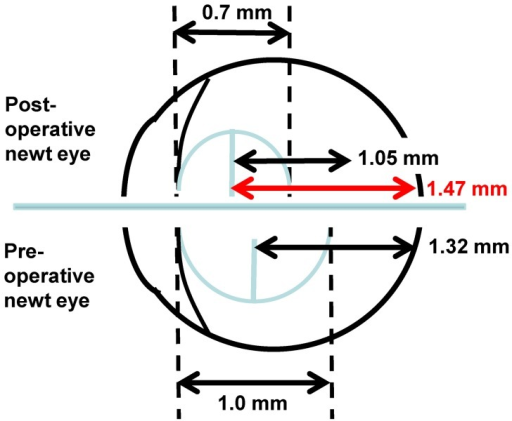 Schematic of newt eye (drawn to proportion from Litzinger and Del Rio Tsonis[23]). The original (pre-operative) lens is shown on the bottom. Based on ocular anatomy, a predicted focal length of 1.32 would ensure a clear image is focused on the retina. The 9-week regenerated lens, with its smaller diameter and shorter focal length of 1.05 mm would focus the image in front of the retina, resulting in a blurred image. The focal distance would have to be 1.47 in the smaller diameter lens in order to have proper functionality.