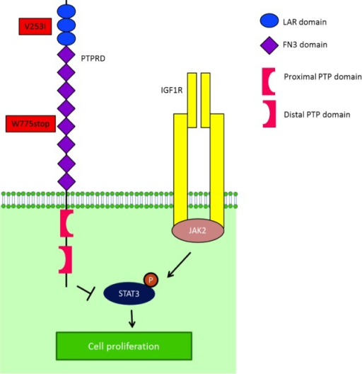 IGF-1R is one of the mediators of STAT3 activitySTAT3 is phosphorylated by JAK2, after being recruited to IGF-1R by RACK1. After STAT3's phosphorylation by JAK2, PTPRD normally dephosphorylates STAT3. In the presence of a truncated PTPRD, STAT3 would remain phosphorylated.