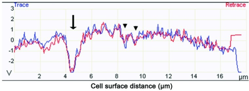 Determining the depth of PFT-induced hole formation. The red and blue lines indicate the surface contour of an HL60/AR cell treated with PFT. The arrow indicates a large hole detected by the SNL tip and arrowheads indicate smaller holes. This image is representative of many HL60/AR cells during PFT treatment.