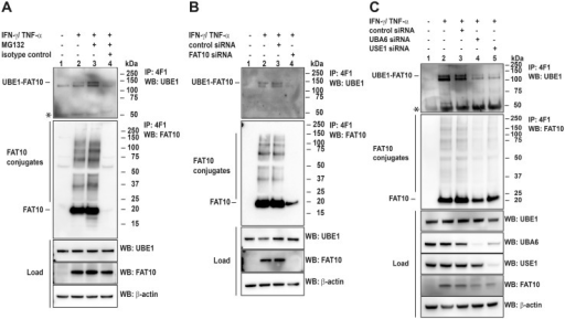 Endogenous UBE1-FAT10 conjugate formation is dependent on UBA6 and USE1.(A) Total cell extracts from IFNγ and TNFα-stimulated HEK293 cells were used to immunoprecipitate endogenous FAT10 and the UBE1-FAT10 conjugate with a mAb against FAT10 (4F1) or an unspecific IgG-agarose as control, followed by western blot analysis using polyclonal antibodies against FAT10 and UBE1. Before harvesting, cells were treated with proteasome inhibitor MG132 for 6 hours, where indicated. Proteins were separated under reducing conditions (4% 2-mercaptoethanol) on 4–12% Bis/Tris NuPAGE gels. The upper panel shows the immunoprecipitated UBE1-FAT10 conjugate, the middle panel the immunoprecipitated FAT10 conjugates, the lower western blot panels show protein expression levels in total cell lysates (load). β-actin was used as loading control. An asterisk indicates the heavy chain of the antibody used for immunoprecipitation. One representative experiment out of three experiments with similar outcomes is shown. (B) HEK293 cells were treated with IFNγ/TNFα to stimulate endogenous FAT10 expression as described in (A). Additionally, cells were treated on two days either with control siRNA or FAT10-specific siRNA to downregulate endogenous FAT10 expression at the same time as it was induced. Cells were harvested on day three, and cell lysates were subjected to immunoprecipitation of endogenous FAT10 and the UBE1-FAT10 conjugate with a mAb against FAT10 (4F1). Proteins were separated on 4–12% NuPAGE gels and western blot analysis was performed under reducing conditions (4% 2-mercaptoethanol) with polyclonal antibodies against FAT10 and UBE1. β-actin was used as loading control. The upper western blot panel shows the disappearance of the UBE1-FAT10 conjugate after siRNA treatment, the middle panel shows immunoprecipitated FAT10 conjugates, and the lower panels show protein expression levels in total protein lysates (load). One representative experiment out of three experiments with similar outcomes is shown. (C) Same experimental setup as in (B) only that UBA6 and USE1 were specifically knocked down by treating HEK293 cells with specific siRNAs against UBA6 and USE1, respectively. Control cells were either untreated or treated with unspecific control siRNA. An asterisk indicates the heavy chain of the antibody used for immunoprecipitation. One representative experiment out of three experiments with similar outcomes is shown.