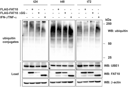 FAT10 expression does not influence the formation of bulk ubiquitin conjugates.HEK293 cells were transiently transfected with expression plasmids for His-3xFLAG-FAT10 (FLAG-FAT10) or a His-3xFLAG-FAT10 mutant which has a GG-to-AV mutation at the C terminus (FLAG-FAT10 ΔGG) which renders it unable to be conjugated to substrate proteins. Alternatively, endogenous FAT10 expression was induced by treatment with proinflammatory cytokines IFNγ and TNFα. To maintain high FAT10 levels over time, cells were re-transfected or re-stimulated after 48 h. Cells were harvested after indicated time periods of expression and total lysates were subjected to protein separation on 4–12% Bis/Tris NuPAGE gels, followed by western blot analysis with specific antibodies against FLAG, endogenous ubiquitin or UBE1. The upper panels show bulk ubiquitin conjugates, and the lower panels show the expression levels of endogenous UBE1 and overexpressed or endogenous FAT10 in the cell lysates (load). β-actin was used as loading control. One representative experiment out of four experiments with similar outcomes is shown.
