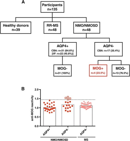 Overview of patient cohort, antibody status, and anti-MOG antibody levels. (A) Patient cohort and antibody status: The study comprised a total of 135 participants including patients with NMO/NMOSD (n = 48), relapsing-remitting multiple sclerosis (RR-MS) (n = 48), and healthy donors (n = 39). Of the NMO/NMOSD patients, 31 were positive for anti-AQP4 antibodies (AQP4+) with the cell-based assay (CBA) while only 22 patients tested positive with indirect immunofluorescence (iIF). All of the AQP4-seropositive patients were negative for anti-MOG antibodies (MOG−). Of the AQP4-seronegative patients (AQP4−), four patients had anti-MOG antibodies (MOG+) (CBA), while 13 patients had no detectable antibodies against either AQP4 or MOG. (B) Anti-MOG antibody levels: Anti-MOG reactivity was analyzed with the CBA and is expressed as the geometric mean channel fluorescence (GMCF) ratio of the MOG-transfected cell line divided by the empty vector-transfected cell line. Values shown represent the (mean) GMCF ratio of one to four experiments. The cutoff used (dotted line) is the mean GMCF ratio of the healthy donor group measured in parallel (n = 39) plus two standard deviations (cutoff = 1.45). Using this cutoff, 4 of the 17 (23.5%) NMO/NMOSD sera were positive for anti-MOG antibodies (empty red squares), all of which were AQP4-seronegative (filled red squares). None of the AQP4-seropositive NMO/NMOSD patients (filled red circles) and none of the RR-MS patients (filled light red triangles) were positive for anti-MOG antibodies.