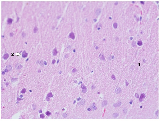 Histological image of dentate gyrus in animals in group IDPE (enlargement 400x). Histological image of dentate gyrus is similar to hippocampus in this group.
