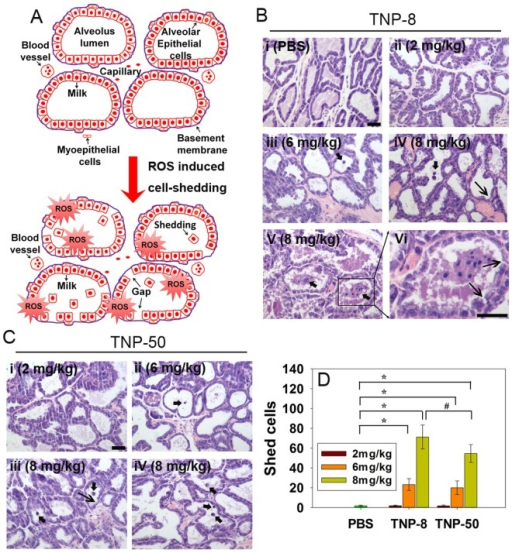 Shedding of mammary alveolar epithelial cells induced by TNPs.A. Schematic anatomical diagrams of lactating mammary glands during lactation period and cartoon indicates that ROS induced cell shedding. B. Representative histological micrographs of the mammary glands 10 days after treatment with (i) PBS; (ii) TNP-8 at a dose of 2 mg/kg; (iii) TNP-8 at a dose of 6 mg/kg; (iv) TNP-8 at a dose of 8 mg/kg. Cell shedding and barrier loosening are noted; (v) Severe cell shedding into alveolar lumen is evident at a dose of 8 mg/kg; (vi) An enlarged view of cell shedding. C. Representative histological micrographs of the mammary glands 10 days after treatment with (i) TNP-50 at a dose of 2 mg/kg; (ii) TNP-50 at a dose of 6 mg/kg; (iii) TNP-50 at a dose of 8 mg/kg; (iv) Cell shedding into alveolar lumen is observed at a dose of 8 mg/kg. D. Quantification of numbers of mammary alveolar epithelial cells shed into the alveolar lumen. There were 7 mice in each experimental group and around 100 alveoli images were examined for each mouse. Scale bar: 40 μm; Narrow arrows indicate gap; Thick arrows indicate cell shedding.
