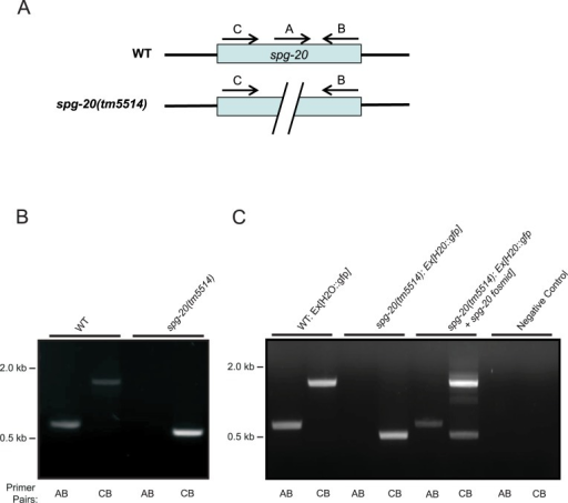 Deletion of spg-20 in transgenic animals.(A) Schematic diagram shows primers annealing on both WT and spg-20 mutant genes. (B) Deletion of spg-20 was confirmed by PCR genotyping. Two sets of primers were used to confirm complete deletion of spg-20 in mutant strains. Primer pairs AB amplified the wild-type (WT) genome (600 bp), and primer pairs CB amplified the mutant genome (500 bp). (C) PCR confirms deletion of spg-20 as well as presence of spg-20 containing plasmid in transgenic animals expressing GFP. The presence of a band at 600 bp using primer pairs A and B and a band at 1700 bp using primers C and B are indicative of wild-type animals. A 500 bp band using primer pairs C and B along with the absence of a band using primer pairs A and B are indicative of the animals containing the spg-20(tm5514) knockout mutation. The presence of a band at 600 bp using primer pairs A and B, along with both a 500 bp and a 1700 bp band using primer pairs C and B is indicative of animals overexpressing spg-20, which contain both the spg-20(tm5514) knockout mutation and the spg-20 fosmid.