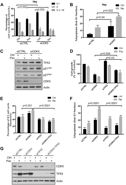 CDK5 knockdown induces p53-dependent growth inhibition, apoptosis and G1 arrest.(A, B) Knockdown of p53 reduced CDK5 knockdown-induced apoptosis (A) and G1 arrest (B). HEY cells were reverse transfected with control siRNA or CDK5 siRNA for 24 h and treated with 5 nM paclitaxel (Pac) or diluent (Control) for an additional 48 h, and then cell cycle analyzed by flow cytometry. Data shown are mean values from three independent experiments. (C) CDK5 knockdown increased the expression of p21Cip1, p53, and p27Kip1. HEY cells were treated with control siRNA or CDK5 siRNA for 24 h and then with paclitaxel (3 nM) or diluent for 48 h. Immunoblot analysis was performed with antibodies against p21Cip1, p53, and p27Kip. (D) Knockdown of p53 expression reduced CDK5 siRNA-induced growth inhibition and reduced the enhancement of paclitaxel sensitivity. Cells were co-transfected with CDK5 siRNA and p53 siRNA for 24 h and treated with paclitaxel (Pac) or diluent. Proliferation of cells was measured with a crystal violet cell proliferation assay. (E, F) Knockdown of p53 reduced CDK5 knockdown-induced apoptosis (E) and G1 arrest (F). HEY cells were treated as in (A) and cell cycle analyzed by flow cytometry. Data shown are mean values from three independent experiments. (G) Western analysis confirmed increasing of TP53 expression by silencing CDK5. HEY cells were treated with control siRNA or CDK5 siRNA for 24 h and then with paclitaxel (3 nM) or diluent for 48 h. Cells lysates was subjected to immunoblot analysis with p53, CDK5 and actin antibody.