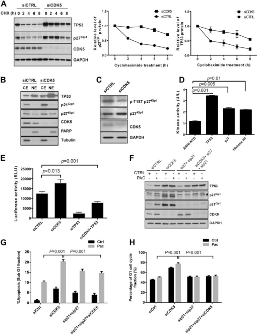 CDK5 knockdown increases TP53 and p27Kip1 protein half-lives, increases nuclear localization of the two proteins, decreases p27Kip1 p-T187 phosphorylation and induces p21Cip1 in a TP53-dependent manner.(A) Transfection with CDK5 siRNA increased the half-life of p53 and p27Kip1 protein. HEY cells were transfected with control siRNA or CDK5 siRNA for 24 h and then treated with 5 μg/mL of cycloheximide (CHX) for the indicated intervals. Cell lysates was subjected to Western analysis with the antibodies indicated. (B) CDK5 siRNA increased the nuclear localization of p53 and p27Kip1. HEY cells were transfected with Control siRNA or CDK5 siRNA for 24 h and subjected to fractionation into cytoplasmic and nuclear components. Cytoplasmic (CE) and nuclear (NE) extracts were analyzed by immunoblotting. (C) CDK5 siRNA decreased the phosphorylation of p27Kip1 at T187. The cell Immunoblot analysis was performed with antibodies against phosphorylated and total p27Kip1. (D) CDK5 enhanced phosphorylation of TP53 and p27Kip. A fluorescence based in vitro kinase assay was used to evaluate the interaction of CDK5 with TP53 and p27Kip1. (E) CDK5 siRNA transcriptionally regulated the expression of p21Cip1. HEY cells were transfected with CDK5 siRNA alone or in combination with TP53 siRNA and a luciferase reporter assay was used to measure p21Cip1 promoter activity. (F) CDK5, p21Cip1 and p27Kip1 knockdown decreased the expression of CDK5, p21Cip1 and p27Kip1. HEY cells were treated with control siRNA or CDK5 or/and p21 plus p27 siRNA for 48 h and then with paclitaxel (6 nM) or diluent for 24 h. Immunoblot analysis was performed with antibodies indicated. (G, H) Knockdown of p21and p27 reduced CDK5 knockdown-induced apoptosis (G) and G1 arrest (H). HEY cells were treated as in (F) and cell cycle analyzed by flow cytometry after siRNA transfection. SubG1 cells were considered apoptotic cells. Data shown are mean values from three independent experiments.