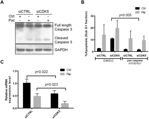 CDK5 knockdown induces caspase-mediated apoptosis and downregulates Bcl-2.(A) CDK5 knockdown induced caspase-3 activation in the presence and absence of paclitaxel. HEY cells were transfected with control siRNA or CDK5 siRNA for 24 h, treated with paclitaxel (3 nM) or diluent for 48 h, lysed and total protein analyzed by immunoblot using antibodies against activated caspase-3 and GAPDH. (B) A pan-caspase inhibitor blocked CDK5 knockdown–induced apoptosis. HEY cells were pretreated for 2 h with 20 μM of a pan-caspase inhibitor (Z-VAD-FMK), or negative control (Z-FA-FMK), followed by treatment for 24 h with or without paclitaxel (3 nM). The cells were then fixed in 70% ethanol, stained with propidium iodide, and subjected to cell cycle analysis by flow cytometry. The sub-G1 cell population was considered apoptotic and expressed as a percentage of the whole-cell population. (C) CDK5 knockdown decreased the expression of Bcl-2 mRNA. HEY cells were treated as in (A) and total RNA was extracted for real-time PCR analysis of Bcl-2 mRNA expression. Data shown were from three independent experiments.