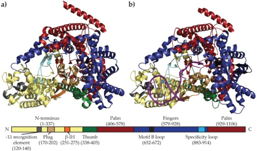 "Comparison of the mini-vRNAP apo (Accession number 2PO4) (a) and BC (Accession number 3C3L) (b) structures highlighting rearrangements near the enzyme active site. Both structures show ""cupped right hand"" architecture (thumb, palm, fingers) characteristic of this family of RNAPs. Upon promoter binding, large scale structural rearrangements of the plug and β-IH motif occur, allowing the rearrangement of the motif B loop into the O helix to allow single-stranded DNA access to the active site. Bottom bar represents the mini-vRNAP primary sequence with amino acid numbering indicated in parentheses. Domains and structural motifs are labeled and colored as in the crystal structures, with template strand DNA represented as a purple ribbon."