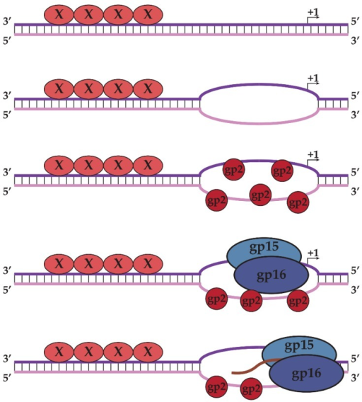 "Model of middle transcription by N4 RNAPII. AT-rich double-stranded promoters are specifically recognized and melted by an unknown protein ""X,"" allowing gp2 to bind to single-stranded DNA. Gp2 recruits N4 RNAPII to the promoter through direct interactions, allowing N4 RNAPII to recognize specific sequences in the template strand and initiate transcription. Template and non-template strands of promoter DNA are represented as purple and pink, respectively."