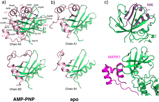 Structural flexibility of the cap domain.Cartoon view of the interface between the cap domain (pink) and the N-lobe (green) of AMP-PNP•LegK41–445 (a) and apo-LegK41–445 (b). Side chains of principal residues participating in the interface in chain A2 are depicted as ball and sticks with carbon atoms coloured as the cartoon, oxygen in red and nitrogen in blue. (c) Structures of mouse NIK (pdb code 4G3C) and human MARK1 (pdb code 2HAK) kinases represented in the same orientation as LegK4 in (a) with the N-lobe coloured in green and the NIK N-terminal extension coloured in purple and MARK1 UBA domain coloured in magenta.