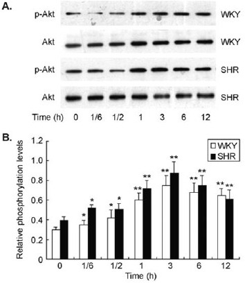 ET-1 stimulated Akt phosphorylation in cultured CMs. There was a low level of Akt phosphorylation in CMs that was significantly increased by ET-1 stimulation in a time-dependent manner in both SHR and WKY rats. ET-1-induced Akt phosphorylation reached maximal level at 3 hrs after stimulation in the cells.