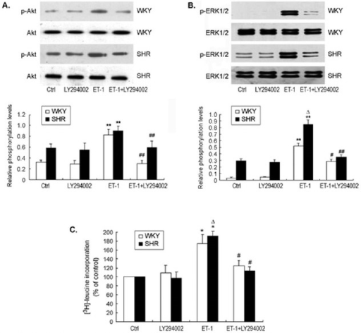 Inhibition of PI3 kinase / Akt signaling prevented ET-1-induced ERK1/2 phosphorylation and protein synthesis in CMs from SHR and WKY rats.