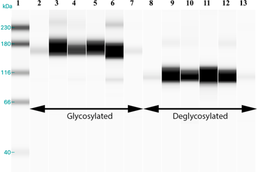 N-glycosylated ENPP3 in human endometrium.Deglycosylation of uterine fluid showed a shift of band from 165 kD to a single band at 110 kD, meaning that ENPP3 in the uterine fluid is present in its glycosylated form. The glycosylated (lanes 2–7) form of ENPP3 showed a band at 165 kD and the deglycosylated (lanes 8–13) form had a single band at 110 kD.