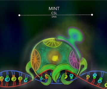 MINT-CSL. The SHARP/MINT proteins were reported to function as negative regulators in diverse cellular contexts as members of a general transcription regulation machinery. MINT is a potent inhibitor of the NSP that uses the BTD and CTD of CSL to form a repression complex with this transcriptional factor to modify the chromatin topology at the NSP dependent genes