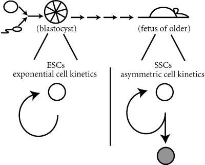 ESCs versus SSCs. Two basic type of stem cells exist, the ESC andthe SSC. ESCs are derived from blastocysts and divide with exponential cell kinetics. SSCs, however, are derived from somatic tissues and divide with asymmetric cell kinetics.