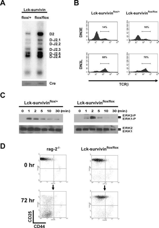 Normal TCRβ gene rearrangement and pre-TCR signaling in Lck-Cre;survivinflox/flox thymocytes. (A) Normal TCRβ D-J rearrangement. TCRβ Dβ2-Jβ2 recombination in Lck-survivinflox/+ and Lck-survivinflox/flox DN thymocytes was examined by PCR followed by Southern blotting with 32P-labeled oligonucleotide probes as previously described (reference 59). The Cre gene was amplified as an internal control for PCR. (B) Normal TCRβ protein expression. DN3E and DNL3 thymocytes from Lck-survivinflox/+ and Lck-survivinflox/flox mice were surface stained with anti-CD25, anti-CD44, and anti-Lin followed by intracellular staining with TCRβ and flow cytometric analysis. (C) Normal MAPK activation. Lck-survivinflox/+ and Lck-survivinflox/flox DN thymocytes were treated with anti–CD3ε-biotin followed by cross-linking with avidin for the indicated times. Protein lysates were subjected to Western blot analysis using anti–phospho-ERK Abs (top). To control for loading, the blot was stripped and reprobed with anti–ERK Ab (bottom). (D) Impaired in vivo response of survivin-deficient thymocytes to anti-CD3ε. RAG-2−/− (left) and Lck-survivinflox/flox (right) mice were intraperitoneally injected with 100 mg anti-CD3ε. After 72 h, thymocytes were prepared and stained with anti-CD25, anti-CD44, and anti-Lin Abs, and then subjected to flow cytometry. Unlike RAG-2−/− DN3 cells, Lck-survivinflox/flox DN3 cells failed to advance to DN4. Data shown are representative of three independent experiments.