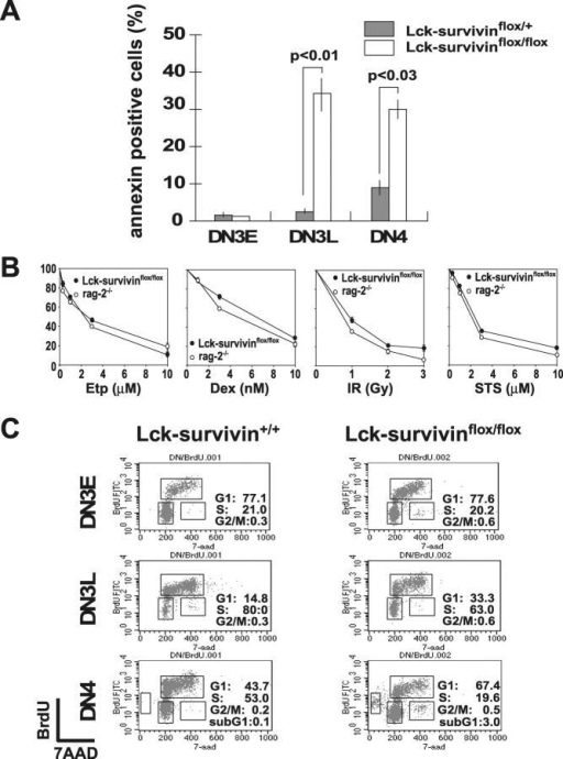 Effect of survivin loss on cell death in vivo and in vitro and on thymocyte proliferation. (A) Increased cell death of proliferating survivin-deficient DN cells. DN thymocytes were prepared ex vivo and stained with anti-CD25, anti-CD44, and anti-Lin Ab followed by annexin. The average number of annexin+ cells in each DN subpopulation was assessed by flow cytometry. Results shown are mean ± SD. Annexin+ cells were significantly increased in Lck-survivinflox/flox DN3L and DN4 populations (ANOVA; n = 3). (B) Normal susceptibility of resting survivin-deficient DN cells to various apoptotic stimuli. Lck-survivinflox/flox and RAG-2−/− DN3E cells were treated with etoposide (Etp), dexamethasone (Dex), γ-irradiation (IR), and staurosporine (STS) at the indicated doses. Cell death was evaluated as described in Materials and Methods. Cell viability was normalized to account for spontaneous cell death. Triplicate samples of each treatment in three independent experiments were assayed. Results shown are mean ± SD. (C) Impaired proliferation in vivo in the absence of survivin. Lck-survivinflox/+ and Lck-survivinflox/flox mice were injected with 1 mg BrdU and DN thymocytes were purified and stained with anti-CD25, anti-CD44, anti-BrdU, and 7AAD. The percentages of cells in the G1, S, and G2/M phases were measured by flow cytometry for the indicated DN subsets. Results shown are representative of three independent experiments.