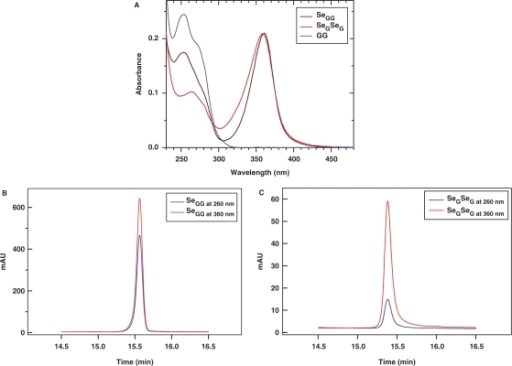 Calculation of  via UV and HPLC analyses. (A) UV absorption spectra of GG dimer (blue line), SeGG dimer (black line), and SeGSeG dimer (red line); (B) RP-HPLC analysis of SeGG dimer at 260 nm (blue line) and 360 nm (red line); (C) RP-HPLC analysis of SeGSeG dimer at 260 nm (blue line) and 360 nm (red line).