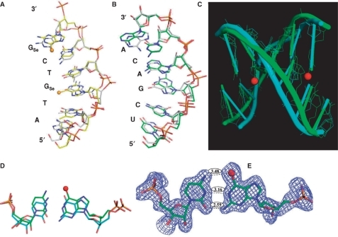 The superimposed global and local structures of the 6-Se-G-modified (2R7Y) and native (2G8U) DNA/RNA duplexes (5′-ATGTCG-p-3′/5′-UCGACA-3′) of the nucleic acid–protein complex; the balls represent selenium atoms in the Se-derivatized DNA (5′-AT-SeG-TC-SeG-p-3′). (A) The structure of the Se-DNA sequence (2R7Y, in yellow) is superimposed over the corresponding native (2G8U, in grey); (B) The structure of the RNA sequence (2R7Y, in green) is superimposed over the corresponding native (2G8U, in grey); (C) The duplex structure of the Se-DNA/RNA hybrid (2R7Y, in green) is superimposed over the corresponding native (2G8U, in cyan); (D) The comparison of the Se-modified (in green) and native (in cyan) G3/C5 base-pair structures; (E) The Se-G3/C5 base pair (2R7Y) with the experimental electron density shows three hydrogen bonds (exo-6-Se/exo-4-NH2, 1-NH/N3, and exo-2-NH2/exo-2-O) with bond lengths in 3.48 Å, 3.16 Å and 2.59 Å, respectively.