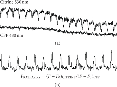 (a) Original recordings from cells expressed troponeon at the excitation wavelength of (a) 485 and 535 nm and (b) the characterized calcium transient by ratio of the fluorescence intensity (FCFP 485 / FCITRINE 535) from one day after infection.