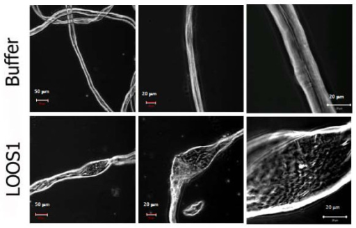 Representative micrographs of cotton fibers incubated with acetate buffer pH 5 (top panels), or loosenin (lower panels), at three different optical magnifications (20× left, 40× middle and 100× right panels). Bubble-like structures are observed in the LOOS1-treated samples.