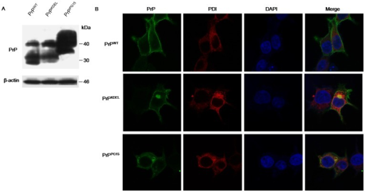Expressions of transiently transfected PrP constructs and co-localizations of the expressed PrPs with PDI in 293-T cells.A. Western blots of the expressions of wild-type PrP (PrPWT) and PrP mutants (PrPKDEL and PrPPG15). B. Immunocytochemial assays of the cells transfected with various PrP constructs 48 h after transfection. The images of PrP (green), PDI (red), DAPI (blue) and merge are monitored under a confocal microscopy and indicated above. (×1000).