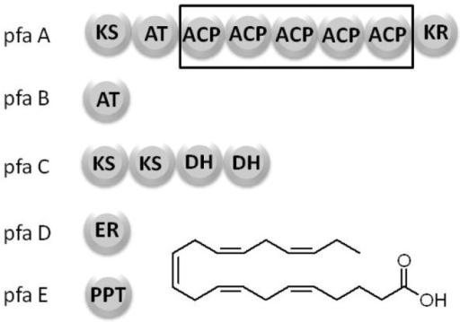 The polyunsaturated fatty acid synthase domain structure.A total of five genes are required for the production of PUFAs: pfaA contains a beta-ketoacyl synthase (KS), an acyltransferase (AT), five tandem acyl carrier proteins (ACP) and a ketoreductase (KR) domain. pfaB consists of a single AT. pfaC contains two KS domains and two tandem dehydratase (DH) domains, pfaD consists of a single enoyl reductase (ER) domain. pfaE consists of a phosphopantetheinyl transferase (PPTase).