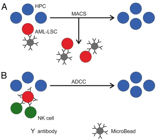 Figure 1. Strategies to purge acute myeloid leukemia stem cells in autologous stem cell grafts and patients. (A) The depletion of acute myeloid leukemia (AML) leukemic stem cells (LSCs, red) from autologous hematopoietic progenitor cells (HPCs, blue) grafts in vitro may be achieved by means of a MicroBead-coupled antibody targeting an AML stem cell antigen and the magnetic-activated cell sorting (MACS) technology. (B) Chimeric antibodies carrying a human Fc portion and binding to an AML-specific antigen may recruit autologous or allogeneic natural killer (NK) cells in patients and trigger the elimination of AML-LSCs via antibody-dependent cellular cytotoxicity (ADCC).