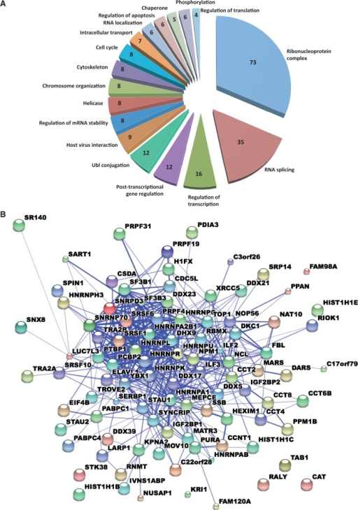 Proteins identified with the L1 form a tight network of interactions dominated by RNA-binding proteins. (A) Pie chart of results of DAVID (Database for Annotation, Visualization and Integrated Discovery) analysis showing selected functional categories for the 96 candidate proteins (42). Protein counts for each category are shown within the slices. Protein names are listed in Supplementary Table S4. (B) STRING (Search tool for the retrieval of interacting genes/proteins)-derived network of known protein–protein interactions among the 96 candidate proteins. The confidence view is shown in Jensen et al. (43).