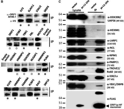 Ectopically expressed and endogenous proteins associate with L1 complexes in multiple cell lines. (A) V5-, 6xMyc- or GFP-tagged proteins exogenously expressed in 293T cells specifically co-immunoprecipitate with pc-L1-1FH, but not empty vector (pcDNA6 myc/his B) [IP: α-FLAG affinity gel, western blotting (WB): α-V5, α-Myc or α-GFP]. IP reactions were in the presence or absence of 15 μg/ml RNase (lanes 3–5). Lysate input samples are also shown (lanes 1 and 2). Several protein panels are reproduced from Goodier et al. (29). GFP-mIGF2BP1 is derived from mouse.The bottom-most panel is representative of tagged ORF1p in the input and IP fractions and confirms that RNase treatment does not affect ORF1p immunoprecipitation on α-FLAG agarose. Molecular weights shown include the epitope tag. The protein standard is See Blue Plus 2 (Invitrogen). (B) Co-IP of endogenous ORF1p from 2102Ep cells by selected V5-tagged proteins (IP: α-V5/IgG affinity gel). Upper rows: detection of ORF1p (WB: α-ORF1 AH40). Asterisk indicates proteins that strongly co-IP endogenous ORF1p. 'o' marks proteins that clearly associate with ORF1p on gel overexposure. Lower rows confirm successful IP of the test proteins (WB: α-V5). Exposure times are not necessarily the same for each lane. Input lysate fractions are shown in Supplementary Figure S1. (C) Co-IP of selected endogenous proteins by pc-L1-1FH from 293T cells (IP: α-FLAG affinity gel, WB: various antibodies). The antibody name is followed by the expected protein molecular weight. NCL has an expected weight of 77 kDa, but observed molecular weight of ∼100 kDa. As previously reported (27), an antibody against DDX39B [UAP56; (50)] detects a dominant band of 55 kDa in cytoplasmic lysates, and a smaller isoform of 49 kDa (the expected size for DDX39B) that co-IPs with tagged ORF1p. In total, 12 antibodies were tested; α-PCBP2 (Abnova), α-FBL (Santa Cruz) and α-TOP1 (Spring) failed to detect their endogenous targets in pc-L1-1FH immunoprecipitates. The bottom-most panel shows efficient immunoprecipitation of tagged ORF1p detected by α-FLAG antibody.