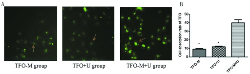 Cell absorption rate of TFO. (A) The rate of TFO absorption by ECV304 cells was detected by fluorescence microscopy (magnification, ×400). The red arrows indicate positive green fluorescence of FITC-labeled TFO in ECV304 cells. (B) The rate of TFO absorption by ECV304 cells in the TFO-M, TFO+U and TFO-M+U groups. The values represent the means ± standard deviation, n=6 per group. *P<0.01 as compared with the TFO-M+U group. TFO, triplex-forming oligonucleotides; M, microbubble; U, ultrasound.