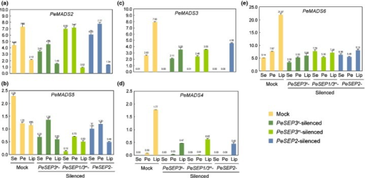 Expression profiles of B-class MADS-box genes in flowers of PeSEP-silenced Phalaenopsis I-Hsin Sunrise Cinderella. (a–e) Real-time reverse transcription-polymerase chain reaction (RT-PCR) analysis of mRNA levels of PeMADS2–6 in sepal (Se), petal (Pe) and lip (Lip) of mock and PeSEP3s-, PeSEP3m- and PeSEP2-silenced flowers. Error bars: ± SD. Numbers above the bars are expression levels after normalization with internal control (PeActin4).