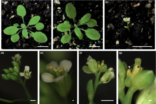 Phenotype analysis of transgenic Arabidopsis plants ectopically expressing PeSEP1 and PeSEP3 genes; 30-d-old wild-type (a), 35S:PeSEP1 (b) and 35S:PeSEP3 (c) Arabidopsis plants. The inflorescence and flower of the wild-type are normal (d, e), whereas that of 35S:PeSEP3 has an abnormal stamen and ovule (f, g). Arrow and arrowhead indicate stamen and ovule, respectively. Bars: (a–d, f) 10 mm; (e, g) 1 mm.