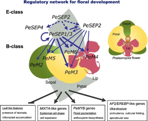 Schematic representation of the proposed regulatory network of Phalaenopsis PeSEP genes in the regulation of floral development. Arrows indicate the direction of the transcriptional regulatory pathway. The broken lines show that PeSEP2 may act as an upstream regulator to initiate PeSEP expression. The combinatory network of PeSEPs may coordinately regulate downstream targets, such as MIXTA-like, PeMYBs and EREBP-like genes, to promote flower morphogenesis and to inhibit leaf-like characteristics. The graphical representation of various organs does not reflect the real growth architecture of Phalaenopsis. B-class proteins, PeMADS2–5 and PeMADS6 are referred to as AP3 and PI homologs, respectively. Abbreviations: PeM2–PeM6, PeMADS2–6.