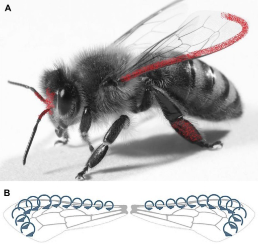 (A) Airborne PM (red) on the honey bees is mostly concentrated along the costal margin of the fore wings, the medial plane of the head, and the inner surface of the hind legs.(B) The Leading Edge Vortex (LEV) formed at the leading edge of the fore wings during the insect flight.