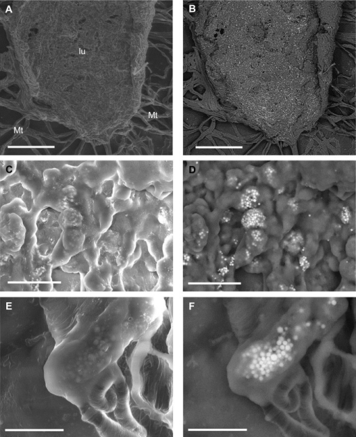 SE and BSE images of dissected portions of the alimentary canal displaying spherocrystals (brighter particles).(A, B) An opened ventriculum, showing high concentration of spherocrystals inside the epithelium. Bars = 500 μm. (C, D) A detail of the epithelium. Bars = 30 μm. (E, F) Sperocrystals in a Malpighian tubule. Bars = 10 μm. lu = lumen of the ventriculum; Mt = Malpighian tubules.