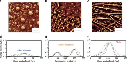 Young's modulus increases as a function of aggregation.AFM quantitative imaging of: (a) oligomeric proteins at 0 day, (b) oligomers after 2 days and (c) fibrillar structures after 7 days of incubation at 37 °C. Scale bar, 2 μm. Stiffness cross-sections of (d) oligomers at 0 day, (e) oligomers at 2 days and (f) fibrillar structures.