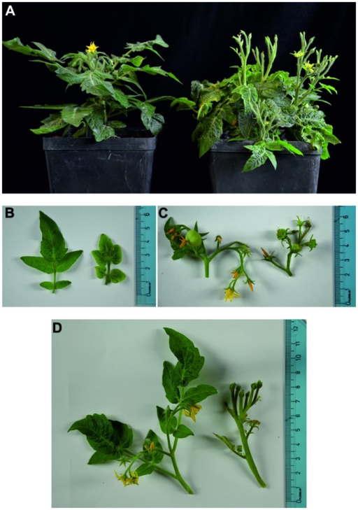 (A–D) Images of healthy (left half of the panels) and stolbur-infected (right half) tomato Micro-Tom plants. Healthy tomato plants show regular growth, normal leaves and flowers are present, whereas in stolbur-infected plants diffuse symptoms are visible (A). Leaf blades are severely reduced (B). Buds are aborted; flowers are malformed with green petals (C). Shoots develop witches' brooms and show a stunted habit (D).