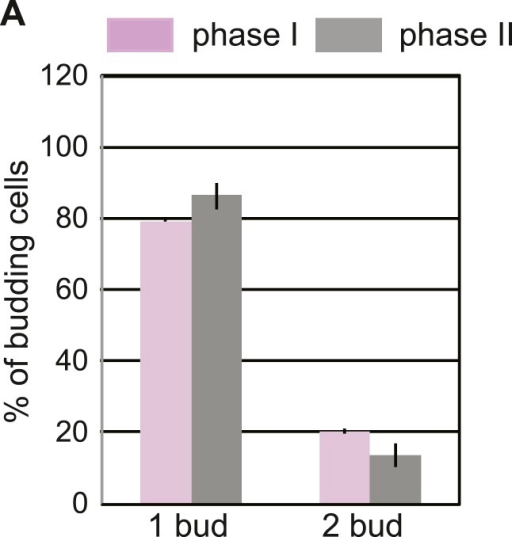 Phase I and phase II cells activate the ERSU pathway.(A) Percentage of phase I (purple) and phase II (gray) cells that showed one bud or two buds after Tm treatment. Error bars indicate SD from three independent experiments.DOI:http://dx.doi.org/10.7554/eLife.06970.012