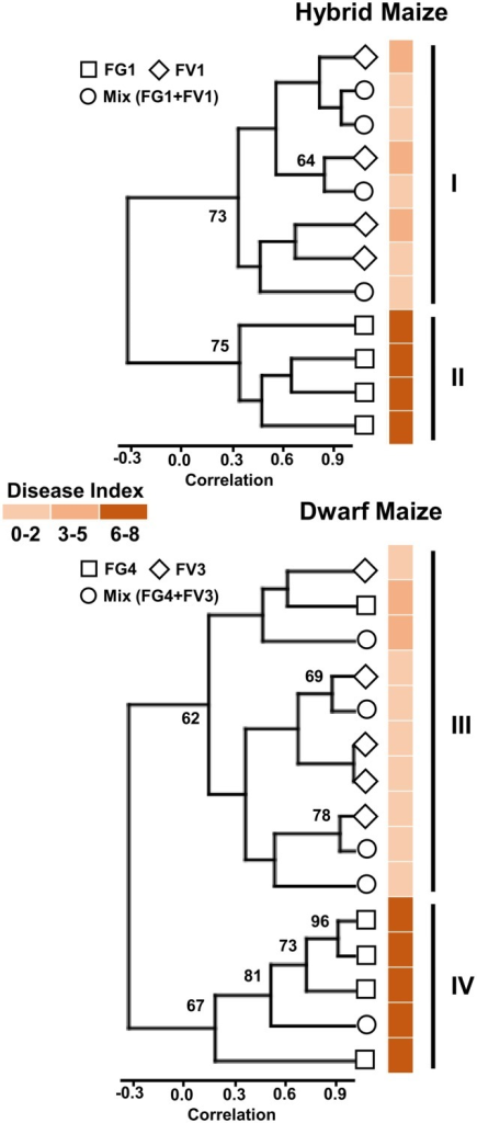 Cluster tree based on volatile infection biomarkers of maize ears infected with one or two Fusarium species. Bootstrap values >60% are indicated (N = 10,000 bootstraps) on the tree along with disease index (color coded) for each individual samples (maize ears).