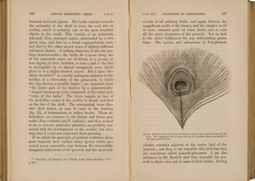 <p>Image of facing pages (p. 136-137) from The descent of man, and selection in relation to sex / by Charles Darwin. London : John Murray, 1871. Page 136 is text. Page 137 has illustration of peacock feather. Feather of peacock, about two-thirds of natural size, carefully drawn by Mr. Ford. The transparent zone is represented by the white zone, confined to the upper end of the disc.</p>
