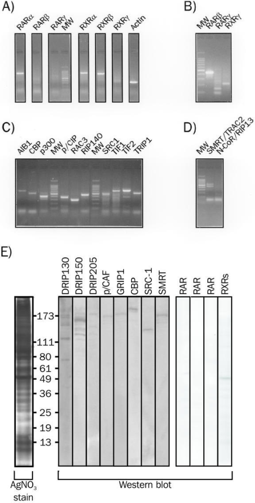 Expression levels of retinoic acid receptors and of transcriptional intermediary factors in HeLa cells. HeLa cells mRNA was extracted and analyzed by RT-PCR using specific primers to detect (A) hRARα, hRARβ, hRARγ, hRXRα, hRXRβ and hRXRγ transcripts; to confirm the lack of expression of hRARβ, hRARγ and hRXRγ by nested PCR (B) to characterize expression levels of nuclear coactivators (C) and nuclear corepressors (D). E) Western blot analysis of HeLa whole cell extracts. 100 μg of proteins were resolved by 8% SDS-PAGE and blotted onto a nitrocellulose membrane. This membrane was probed with antibodies specific for each indicated receptors, coactivators or corepressor. The left panel shows a silver-stained gel on which 10 μg of cell extract has been separated. Molecular masses are indicated in kDa.