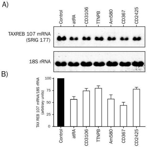 Expression of TAXREB107 mRNA in HeLa cells treated with different ligands of the retinoic acid receptor. HeLa cells were treated with the different ligands for 4 hours. Total RNA (20 μg) was probed sequentially with fluorescein-labeled partial human TAXREB cDNA and 18S rRNA probes. Blots were quantified using a Storm™ apparatus. Values for the TAXREB transcript were normalized to the 18S rRNA level. A) Upper panel: TAXREB107 transcript in HeLa cells treated with various retinoids. Lower panel: 18S rRNA. B) Quantification of TAXREB107 expression. Results are presented as the mean +/- S.E.M. of three different experiments. Retinoid concentrations were as in Figure 3.