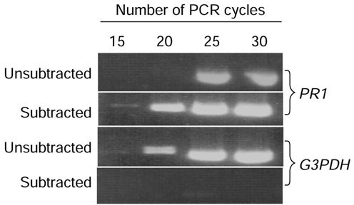 Analysis of subtraction efficiency using PCR. Tester cDNA was prepared from the poly(A)+ RNA of plants sprayed with the virulent oomycete P. parasitica and the driver cDNA was from water-treated control plants. The unsubtracted and subtracted pools of cDNA were amplified using primers for the pathogen-inducible PR1 gene or the constitutively expressed G3PDH gene. Aliquots of the samples were taken after 15, 20, 25 and 30 cycles of PCR amplification and the products were analyzed on a 2% agarose gel.