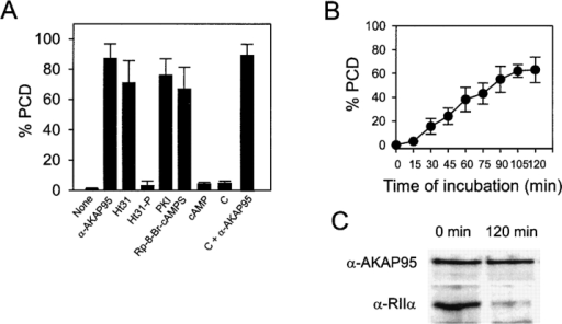 AKAP95–RIIα interaction, cAMP signaling, and PKA activity are required for maintenance of condensed chromatin in mitotic extract. (A) Chromatin condensed in mitotic extract was purified and exposed to fresh mitotic extract containing either anti–AKAP95 antibodies (1:50 dilution), 500 nM Ht31, 500 nM Ht31-P, 1 μM PKI, 100 μM Rp-8-Br-cAMPS, 1 μM cAMP, 15 ng/μl recombinant catalytic subunit of PKA (C), or C plus anti–AKAP95 antibodies. Proportions (percent ± SD) of PCD were determined by DNA labeling after 90 min. (B) Chromatin condensed in mitotic extract was purified and exposed to fresh mitotic extract immunodepleted of RIIα. Proportions (percent ± SD) of PCD were determined by DNA staining of sample aliquots at regular intervals. (C) Chromatin fractions at the start (Input) and at the end (120 min) of incubation in RIIα-depleted mitotic extract were sedimented and proteins were immunoblotted using anti–AKAP95 and anti–RIIα antibodies.