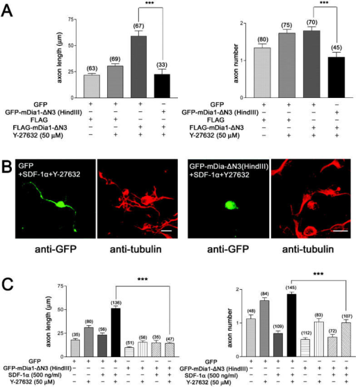 A DN mDia1 mutant interferes with SDF-1α–dependent axon elongation. (A) Coexpression of the GFP-mDia1-ΔN3(HindIII) mutant abolished the effect of FLAG-mDia1-ΔN3 expression on axon length (left). n ≈ 33–80. (B and C) The effect of GFP-mDia1-ΔN3(HindIII) overexpression was examined on SDF-1α–facilitated axon elongation in the presence of Y-27632. A potent inhibition on both SDF-1α–dependent axon elongation (B and C, left) and axon initiation (B and C, right) was detected. n ≈ 35–145. Bars, 5 μm.