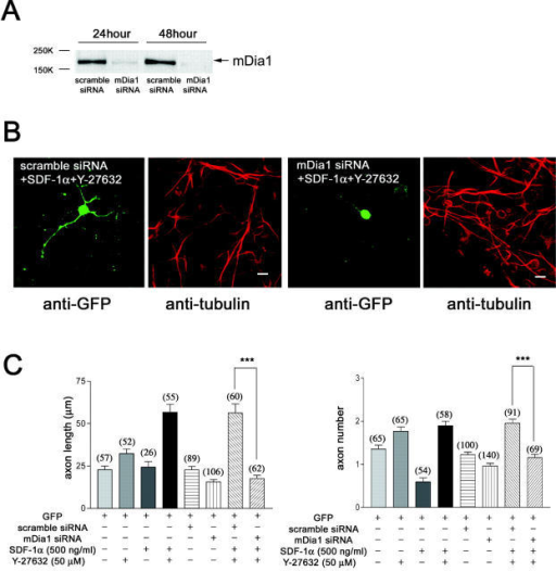 mDia1 knockdown by RNAi using siRNA completely abolishes SDF-1α–dependent axon elongation. (A) Significant reduction of mDia1 protein is achieved in NIH3T3 within 24 h by RNAi using siRNA. (B and C) mDia1 knockdown by RNAi annihilates both SDF-1α–dependent axon elongation (C, left) and axon initiation (C, right) back to baseline levels, thereby confirming the DN experiments. n ≈ 26–140. ***P < 0.001. Bars, 5 μm.